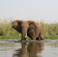 Elephant-Lower-Zambezi