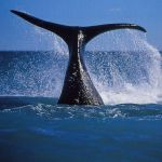 southern-right-whales-south-africa