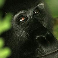 Gorilla, Bwindi Impenetrable Forest, Uganda