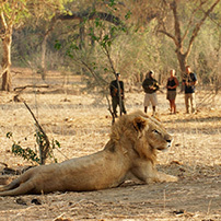 Lion on walk, Lower Zambezi, Zambia