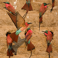 Special interest, carmine bee-eaters, Zambia