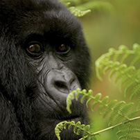 Specific species focus, mountain gorilla, Rwanda