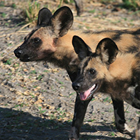 Wild dogs, Madikwe Game Reserve, South Africa