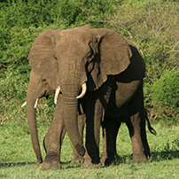 Elephant in the Aberdare Mountains, Kenya