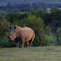 White rhino on Samara