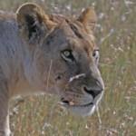family-lion
