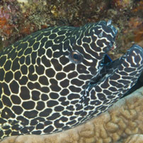 Moray eel, South Africa
