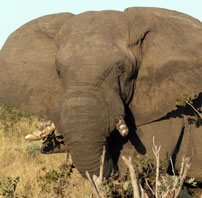 Hwange Elephant-head 202