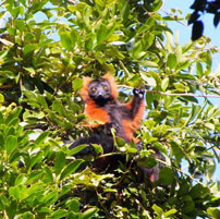 Mad-Red-Ruffed-Lemur