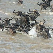 TAN-Wildebeest-crossing
