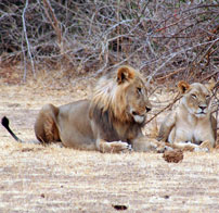 view-Lion-male-and-female-2