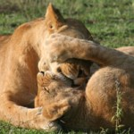 Lioness-and-cub-playing-202