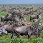 Wildebeest-bearded-southern