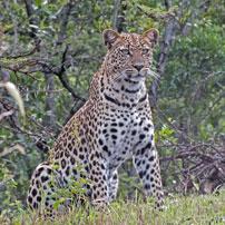 Fran-leopard