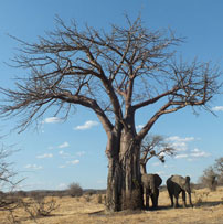 Ruaha-Elephant-and-Baobab-2