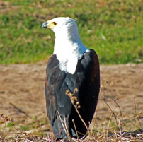 Fran-Selous-Fish-eagle-202