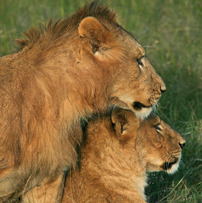 Mara-lions202