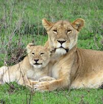 Fran-Serengeti-lioness-cub-