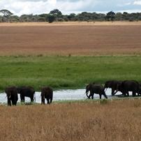 M-Tz-Elephants-Swamp-Tarang 202