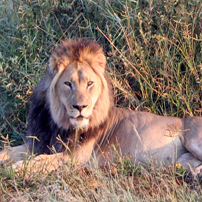 Lion----Kalahari-male202