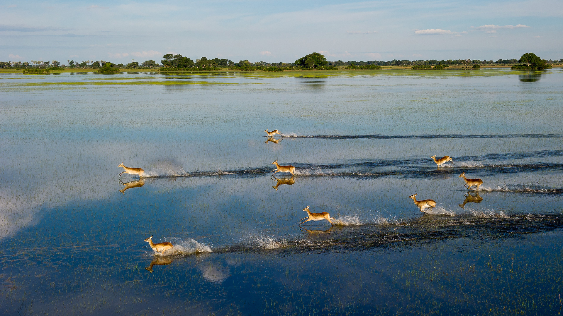 Botswana Regions Okavango Delta including Moremi Game Reserve lechwe running in flood