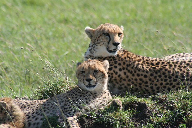 when to travel and wildlife calendar cheetah-kenya-2009