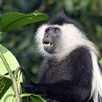 Black and white Colobus, Nyungwe Forest, Rwanda