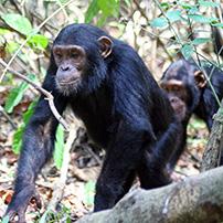 Kibale Forest chimps, Uganda