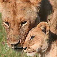 lioness-and-cub-ngorongoro-crater-tanzania
