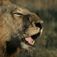 Sabi Sands battle scarred