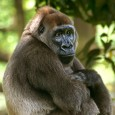 Gorilla permits set to rise by 50%?