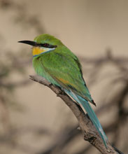 Michele's Botswana bird list