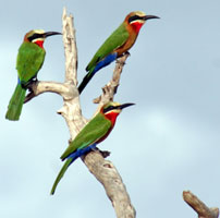 Rob--STz-Bee-eaters---white