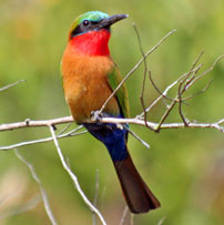 Rob-UG-Bee-eater-red-throat