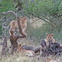 Maputoland-lion-cubs-202