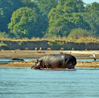 Zam-Hippo-walking-Luangwa-2