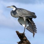 Heron---Black-headed-on-one
