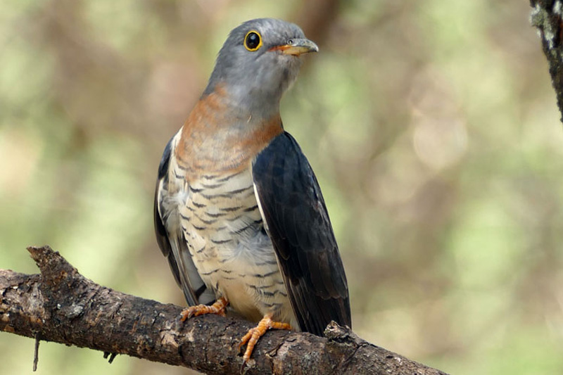 home-from-africa-soon-track-the-cuckoo-Rob-17-Cuckoo-red-chested