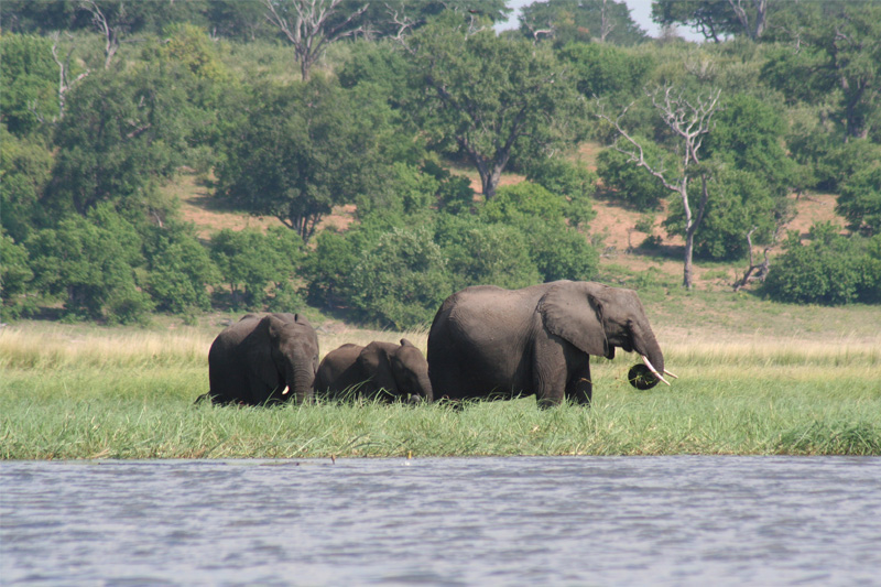 the-magic-of-botswana-by-rob-chobe-elephants