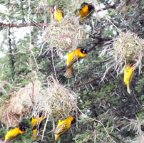 Mary-Weaver-nests