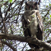 Mary-eagle-owl