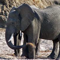 Ruaha-Elephant-dig-202