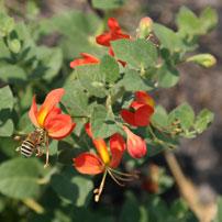 Bangweulu-flower