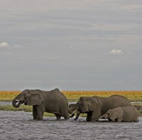 Chobe-elephants-202