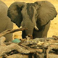 Savuti-elephant-hide-202