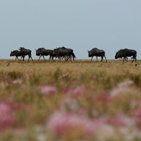 Liuwa-wildebeest-flowers-20