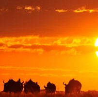 Liuwa-wildebeest-sunset-202