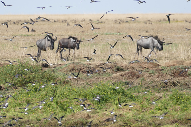 great-plains-of-zambia-the-liuwa-wildebeest-and-pratincole