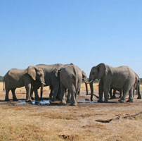Elephants---Hwange-water-ho