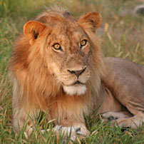Lion-male-sitting202